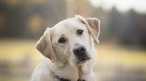 labrador-retriever-sad-eyes-hd-wallpaper